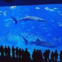 巨大水槽のジンベイザメやマンタが大接近・・・大迫力の『美ら海水族館』