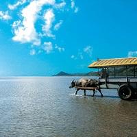 石垣島水牛_西表島から由布島を巡る水牛ツアー(イメージ)