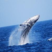 クジラの動きの中でも最もダイナミックなパフォーマンス!(イメージ)