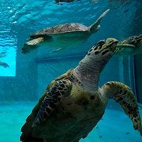 普段なかなか見れないウミガメの様子を観察できる 久米島ウミガメ館