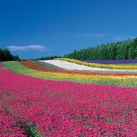 ファーム富田 彩の畑