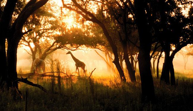 キリンやシマウマなどの動物が暮らしています/イメージ(c)Disney